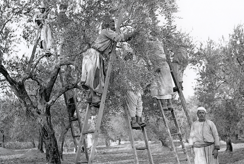 Palestinians picking olives, 1936
